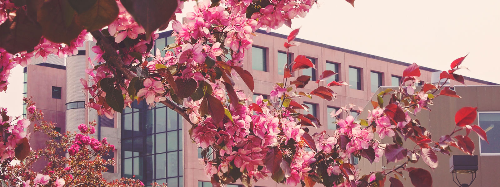 Lakehead Thunder Bay's ATAC building seen through our beautiful cherry blossoms
