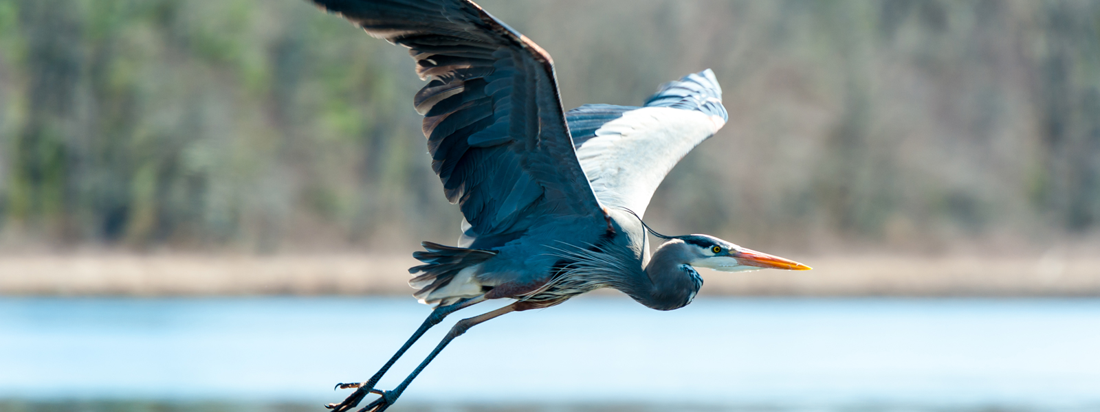 A heron flapping it's large wings