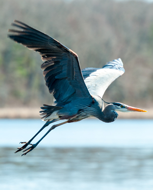 A beautiful blue heron flapping its wings