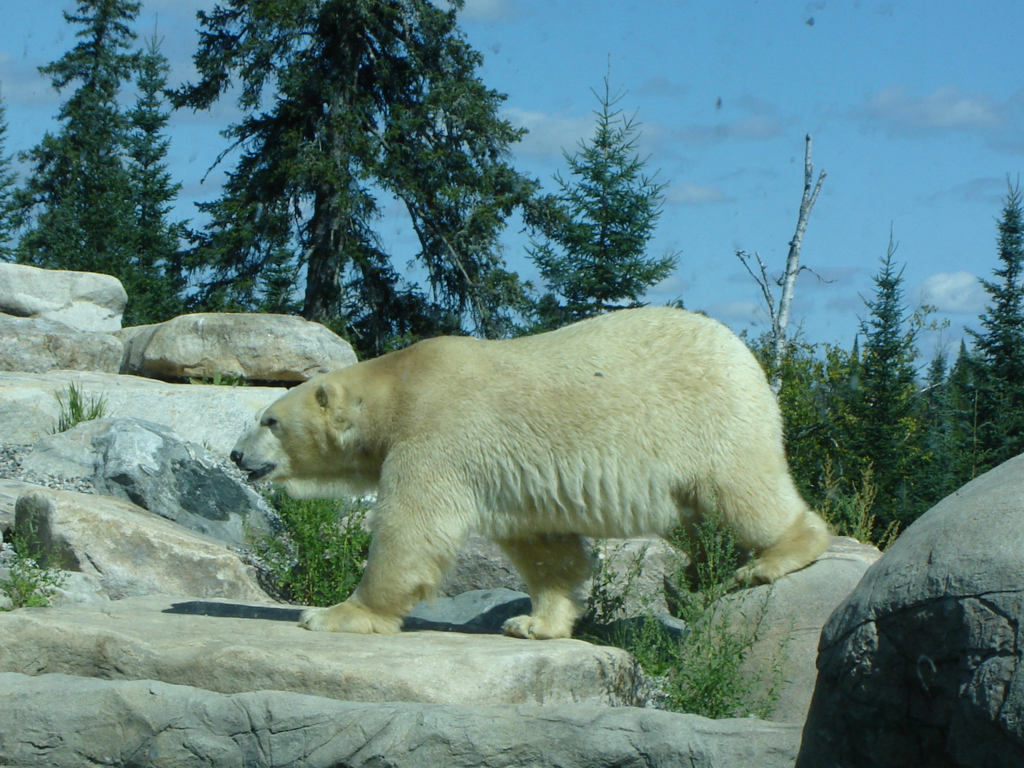 an overview of the polar bear Polar bear power is a creature power that gives its users the abilities and characteristics of a polar bear it made its first and only appearance in the season 1 episode &quotpolar bears don't dance&quot dna sources polar bear.